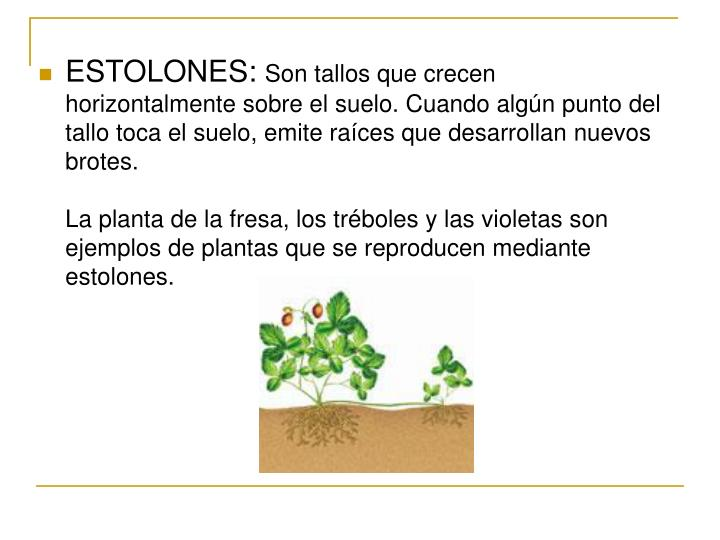 ESTOLONES: