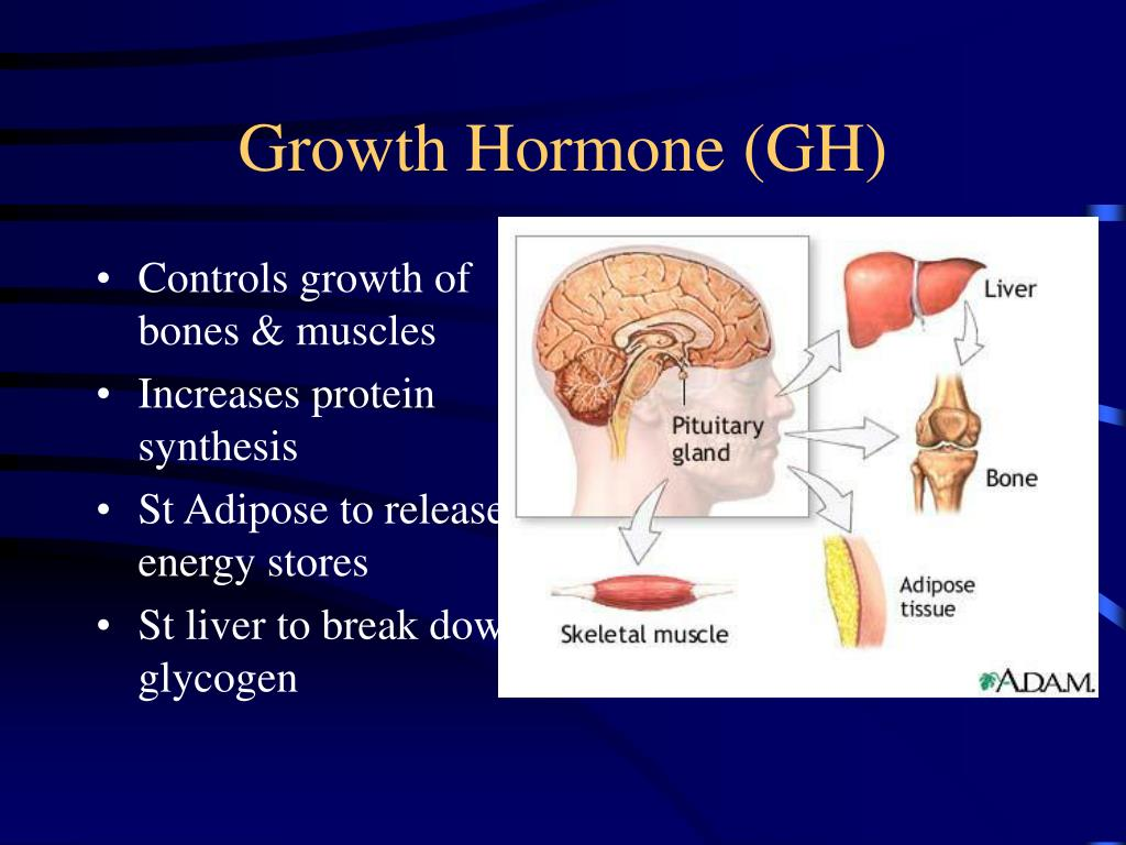 Controls growth of bones & muscles