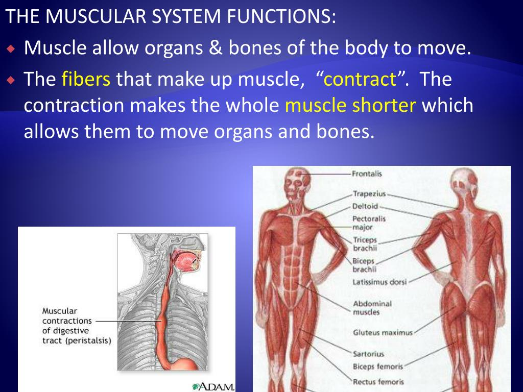 THE MUSCULAR SYSTEM FUNCTIONS:
