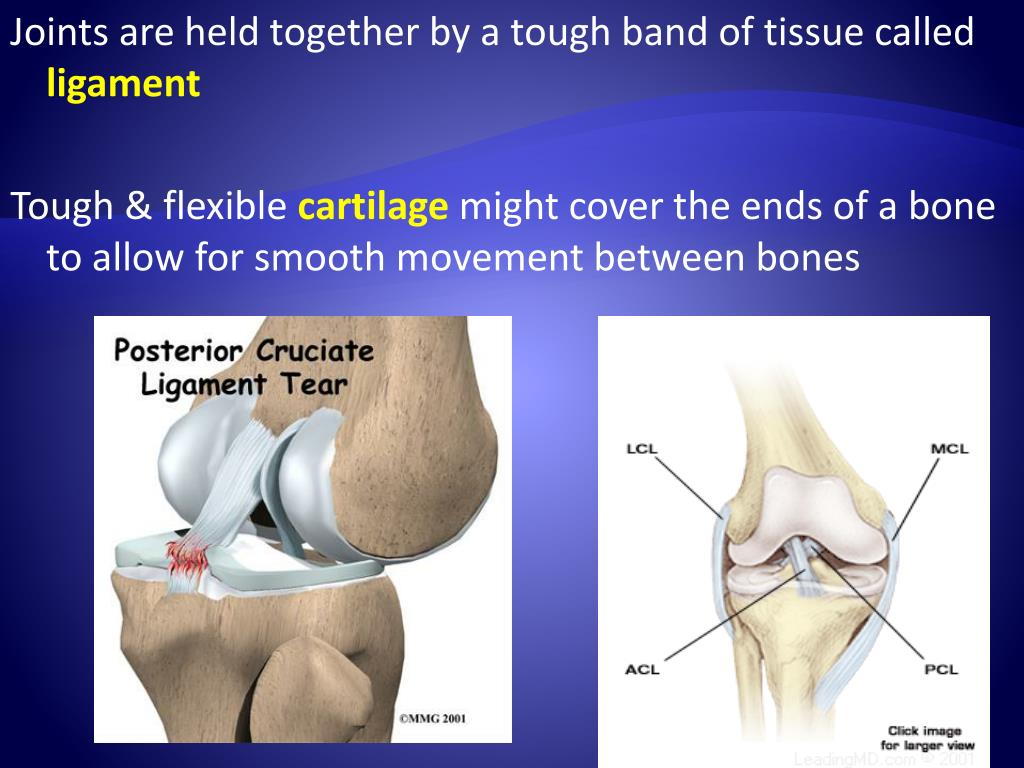 Joints are held together by a tough band of tissue called