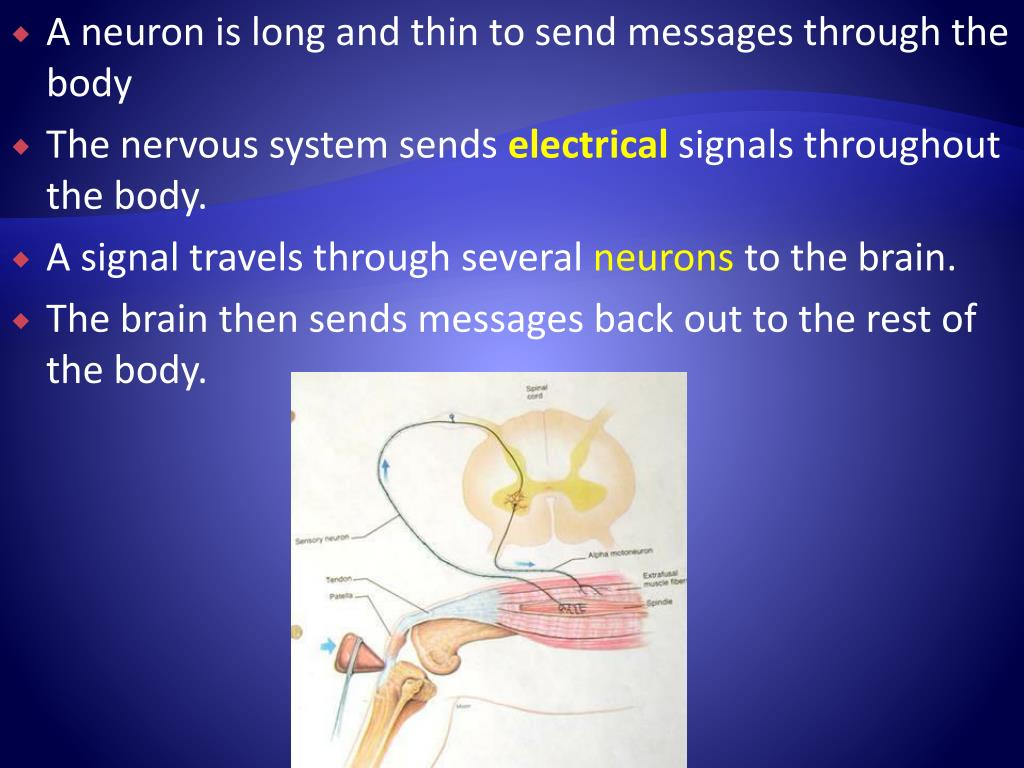A neuron is long and thin to send messages through the body