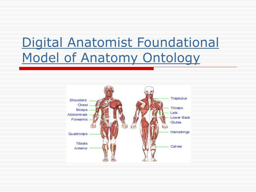 digital anatomist foundational model of anatomy ontology l.
