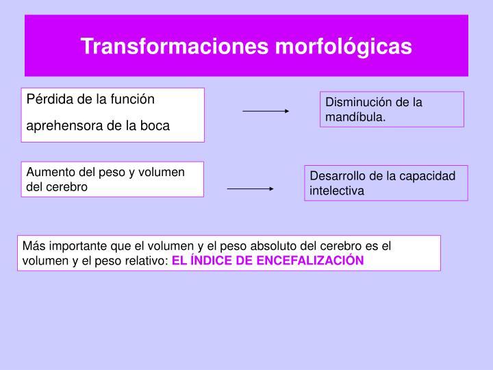 Transformaciones morfológicas