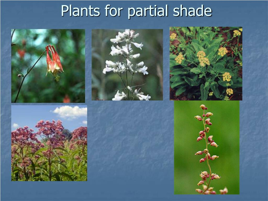 Plants for partial shade