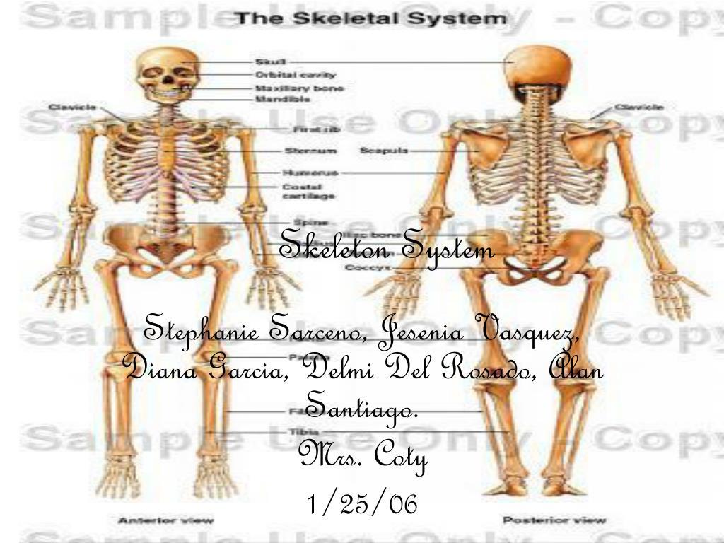 skeleton system l.