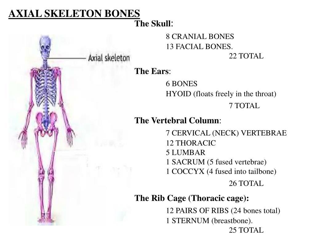 AXIAL SKELETON BONES