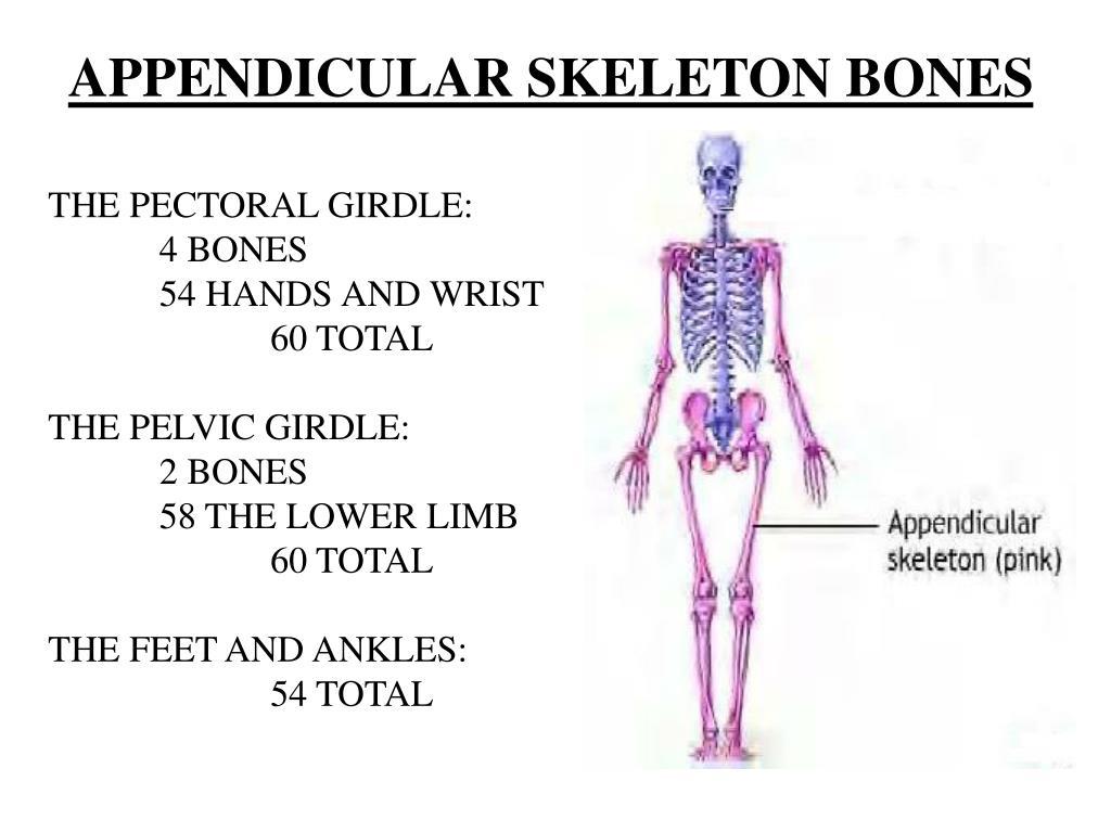 APPENDICULAR SKELETON BONES