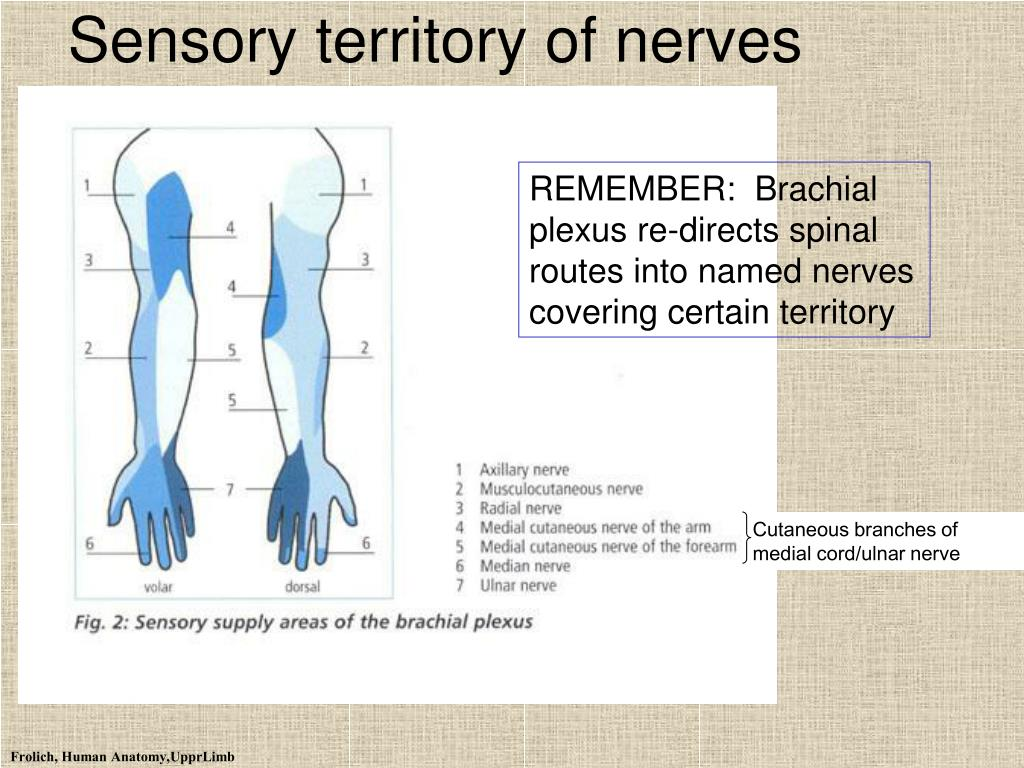 Sensory territory of nerves