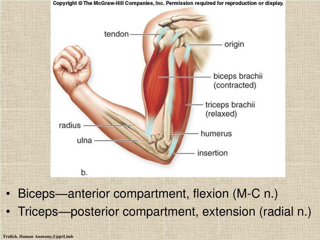 Biceps—anterior compartment, flexion (M-C n.)