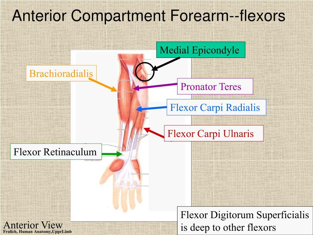 Anterior Compartment Forearm--flexors