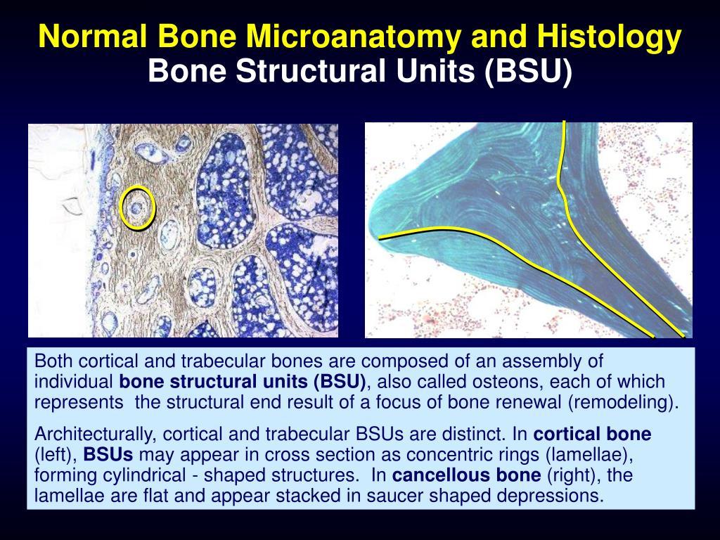Normal Bone Microanatomy and Histology