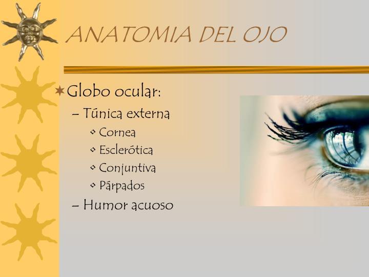 PPT - ANATOMIA DEL GLOBO OCULAR PowerPoint Presentation - ID:894475