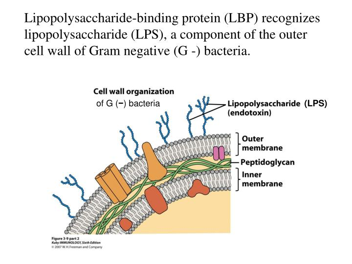 Lipopolysaccharide-binding protein (LBP) recognizes lipopolysaccharide (LPS), a component of the outer