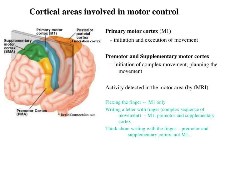 PPT - Motor cortex PowerPoint Presentation - ID:895708