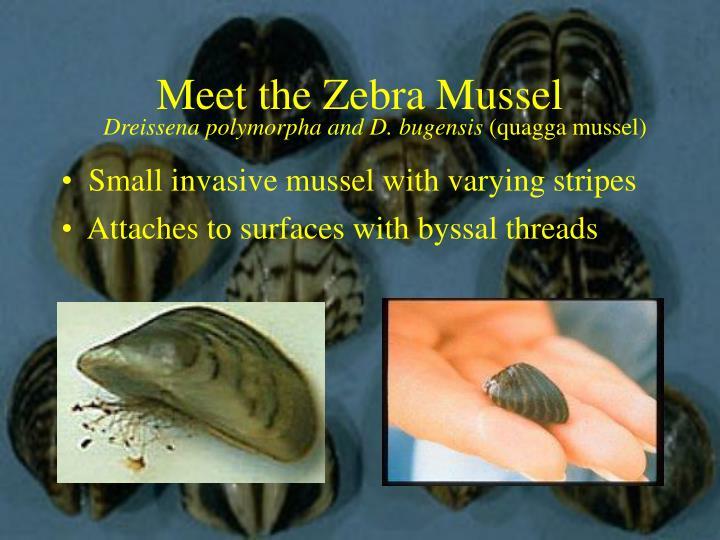 Meet the zebra mussel