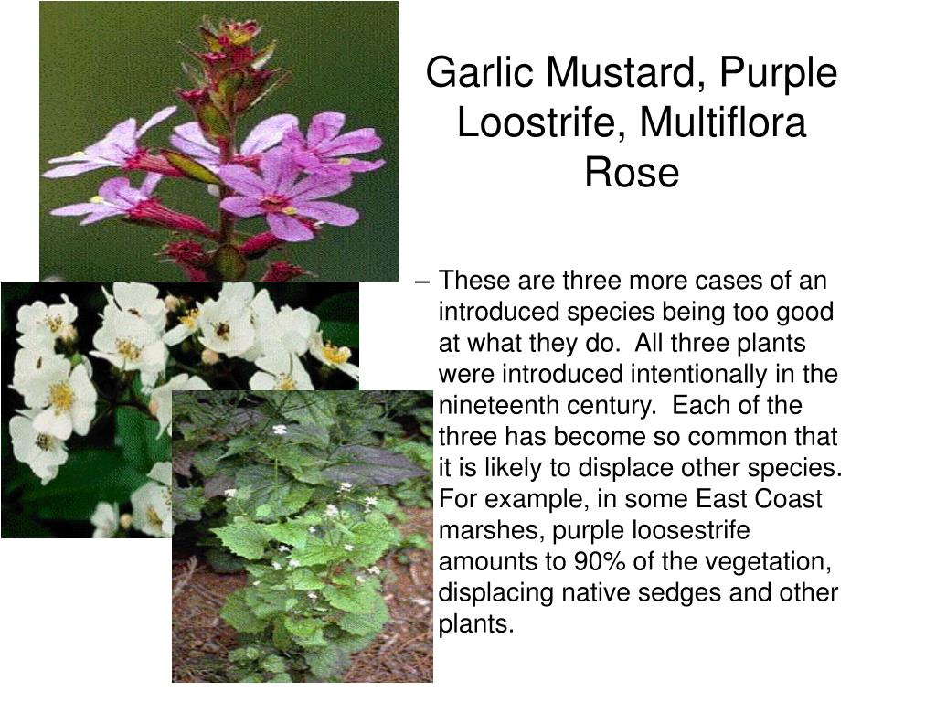 Garlic Mustard, Purple Loostrife, Multiflora Rose