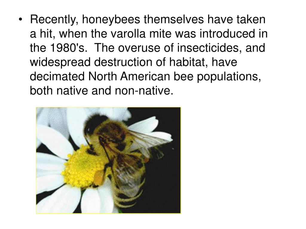 Recently, honeybees themselves have taken a hit, when the varolla mite was introduced in the 1980's.  The overuse of insecticides, and widespread destruction of habitat, have decimated North American bee populations, both native and non-native.