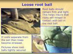 loose root ball