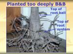 planted too deeply b b