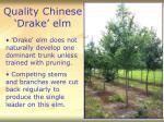 quality chinese drake elm