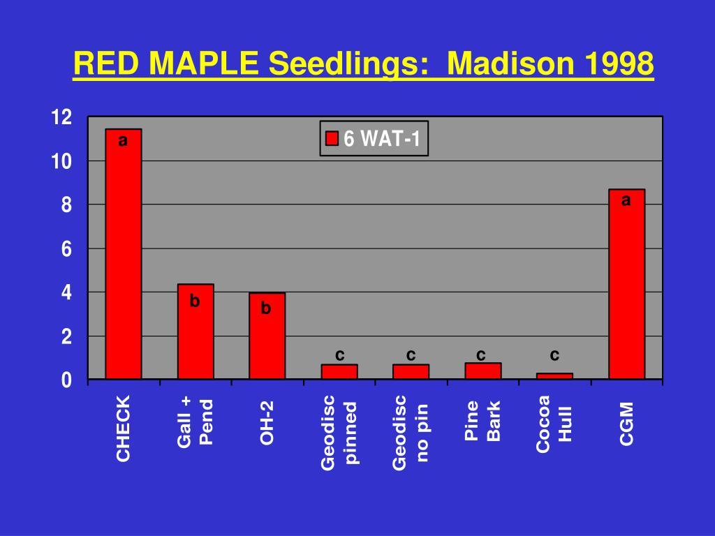 RED MAPLE Seedlings:  Madison 1998