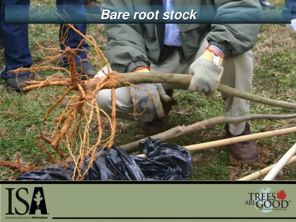 Bare root stock