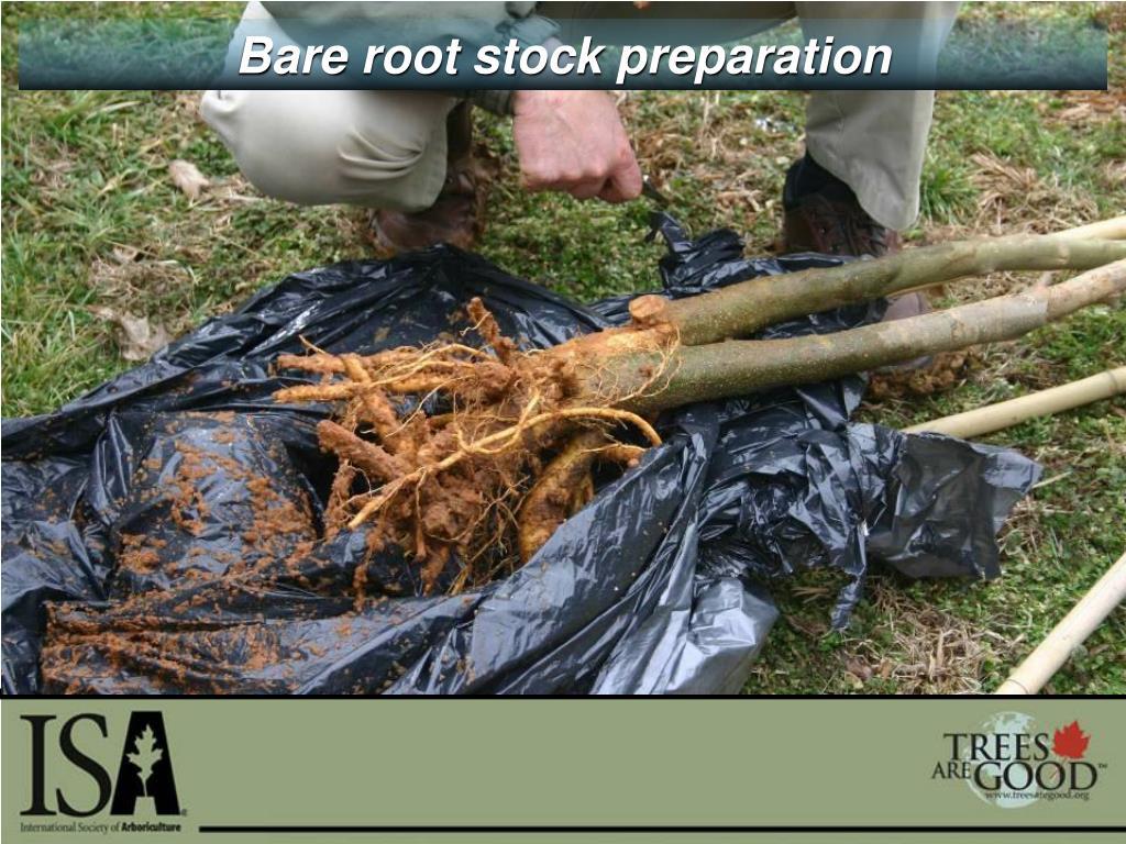 Bare root stock preparation