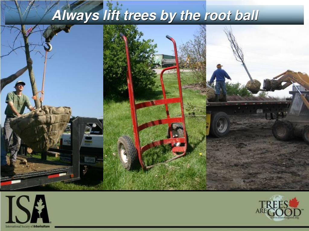 Always lift trees by the root ball