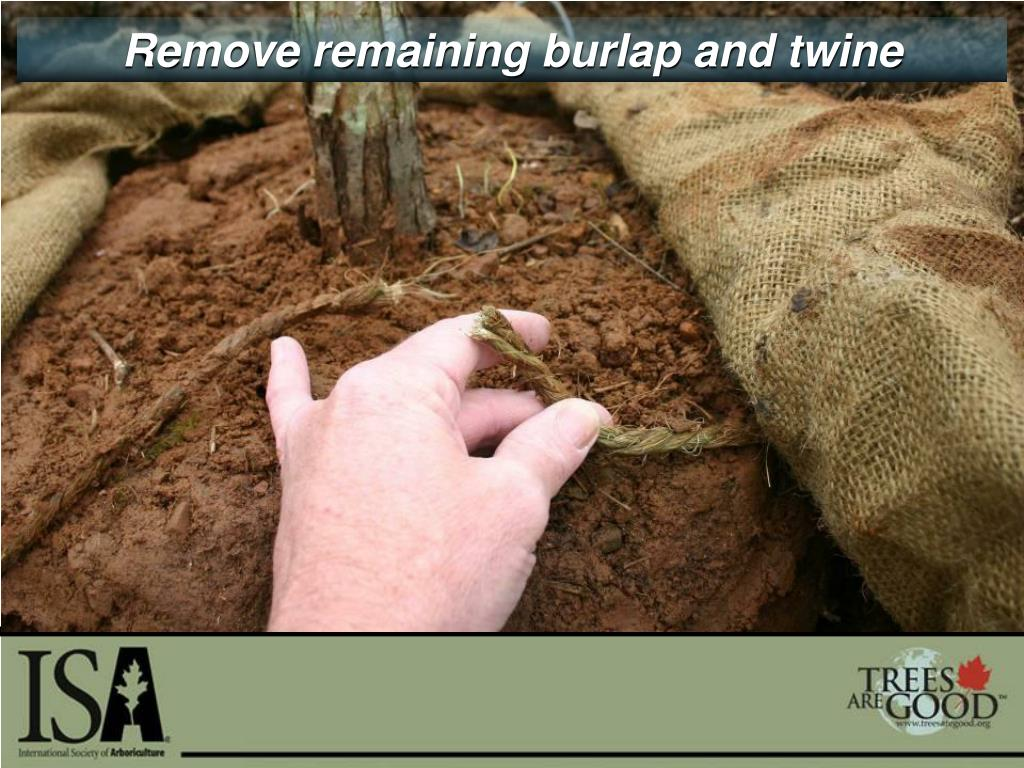Remove remaining burlap and twine