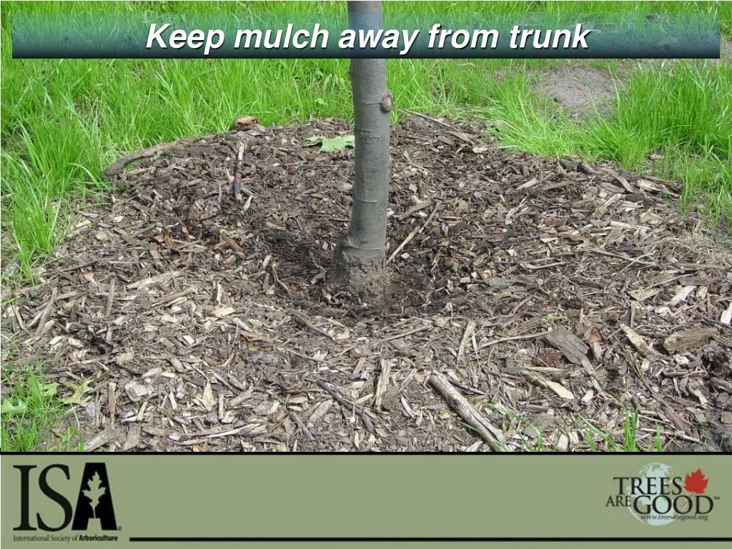 Keep mulch away from trunk
