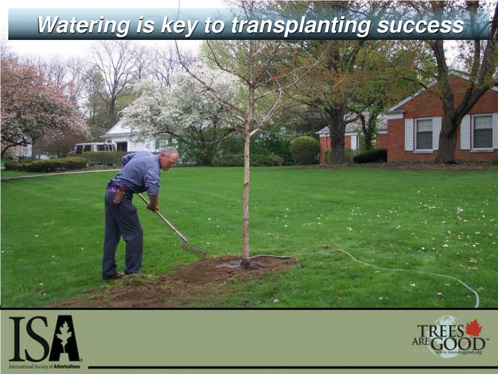Watering is key to transplanting success