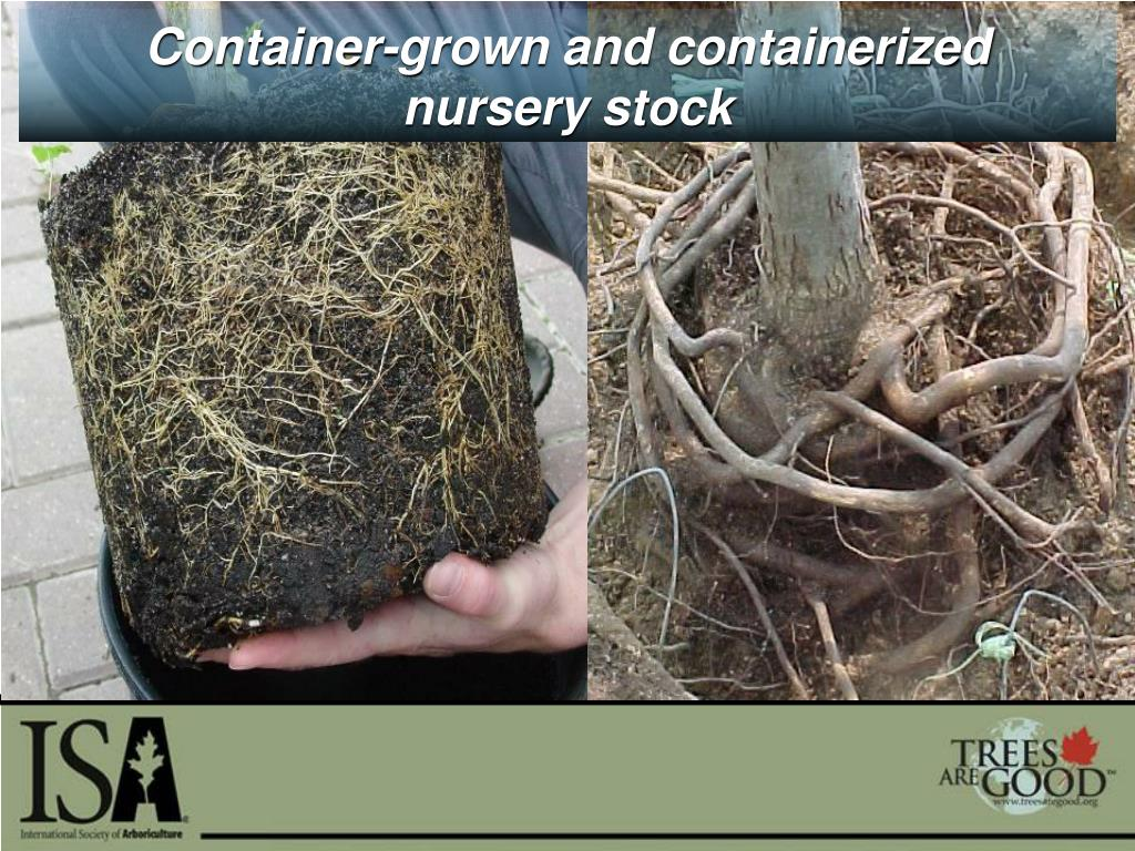 Container-grown and containerized