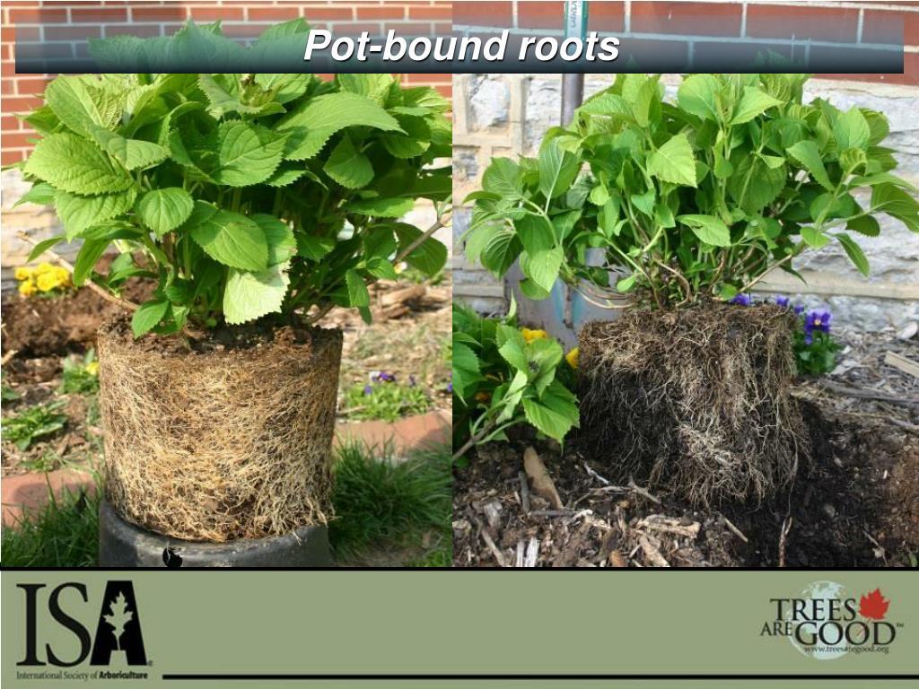 Pot-bound roots