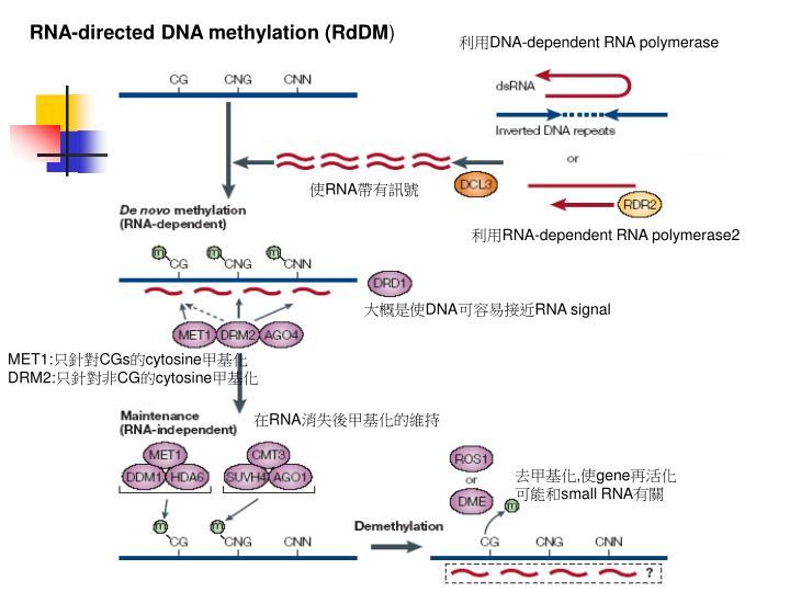 RNA-directed DNA methylation (RdDM
