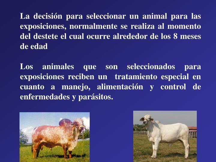 La decisión para seleccionar un animal para las exposiciones, normalmente se realiza al momento del destete el cual ocurre alrededor de los 8 meses de edad