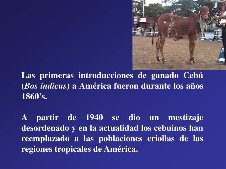 Las primeras introducciones de ganado Cebú (