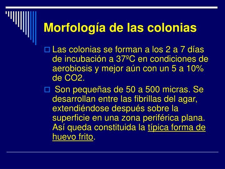 Morfología de las colonias