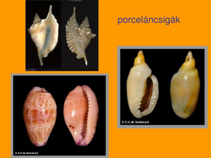 porceláncsigák