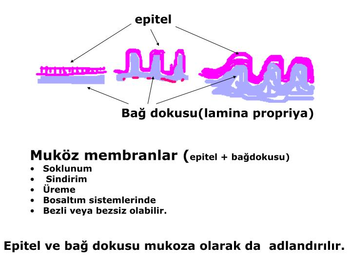 epitel