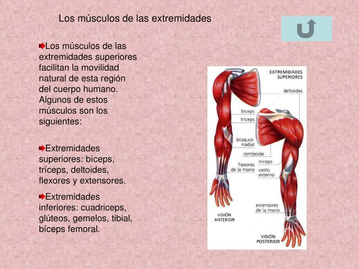 Los músculos de las extremidades