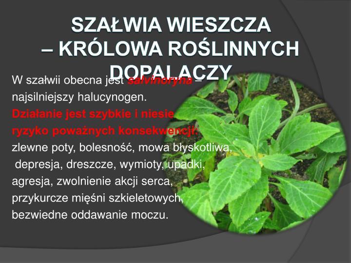 Szałwia wieszcza