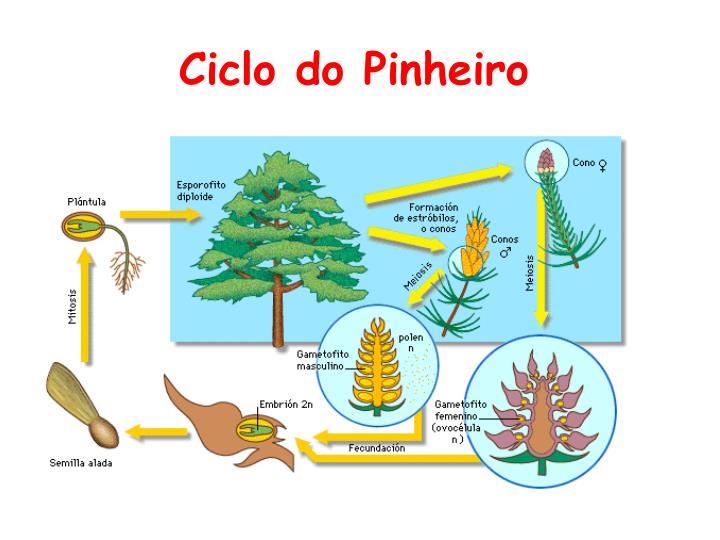 Ciclo do Pinheiro