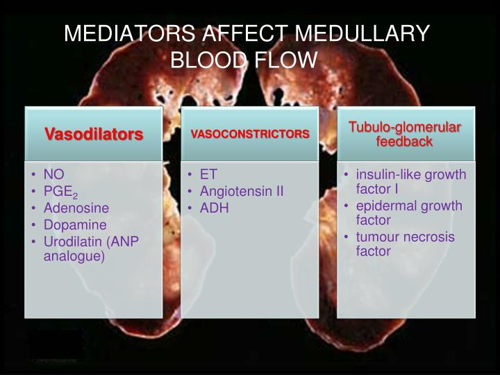 MEDIATORS AFFECT MEDULLARY BLOOD FLOW