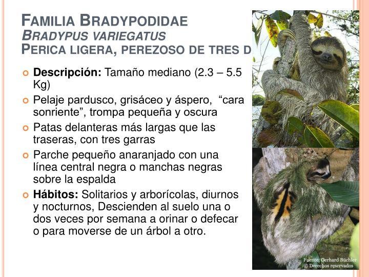 Familia Bradypodidae