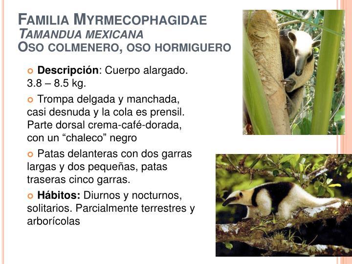 Familia myrmecophagidae tamandua mexicana oso colmenero oso hormiguero