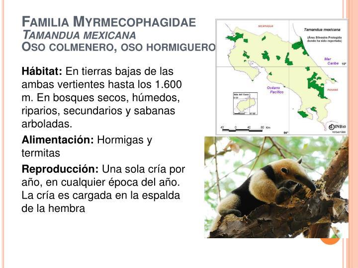 Familia myrmecophagidae tamandua mexicana oso colmenero oso hormiguero1