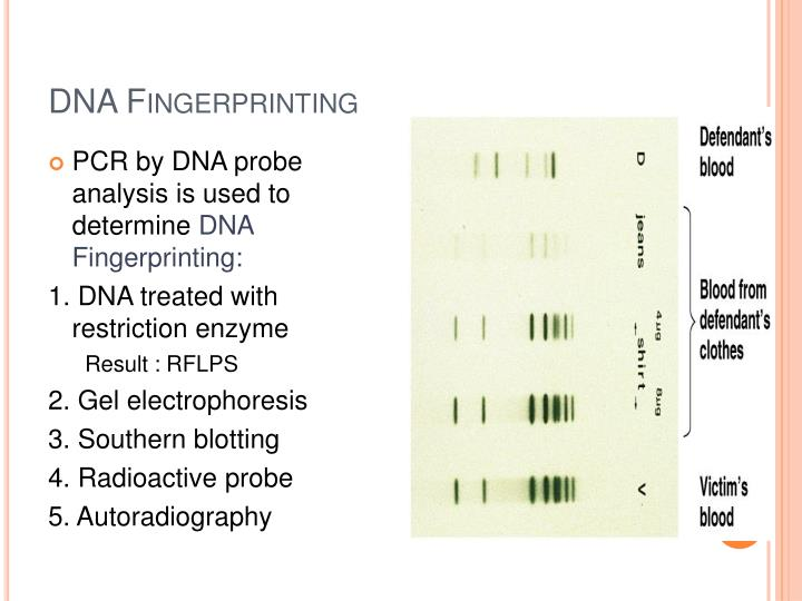 dna fingerprinting gel electrophoresis restriction enzymes lab report Restriction enzymes and gel electrophoresis lab report anza restriction enzymes one-buffer system of restriction enzymes and dna-modifying enzymesdna restriction enzymes and gel electrophoresis lab flashcards vocabulary words for dna restriction enzymes and gel electrophoresis lab.