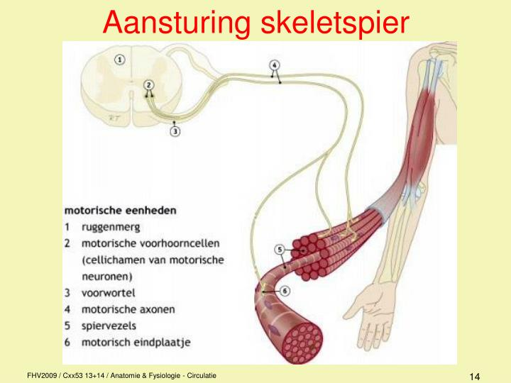 Aansturing skeletspier