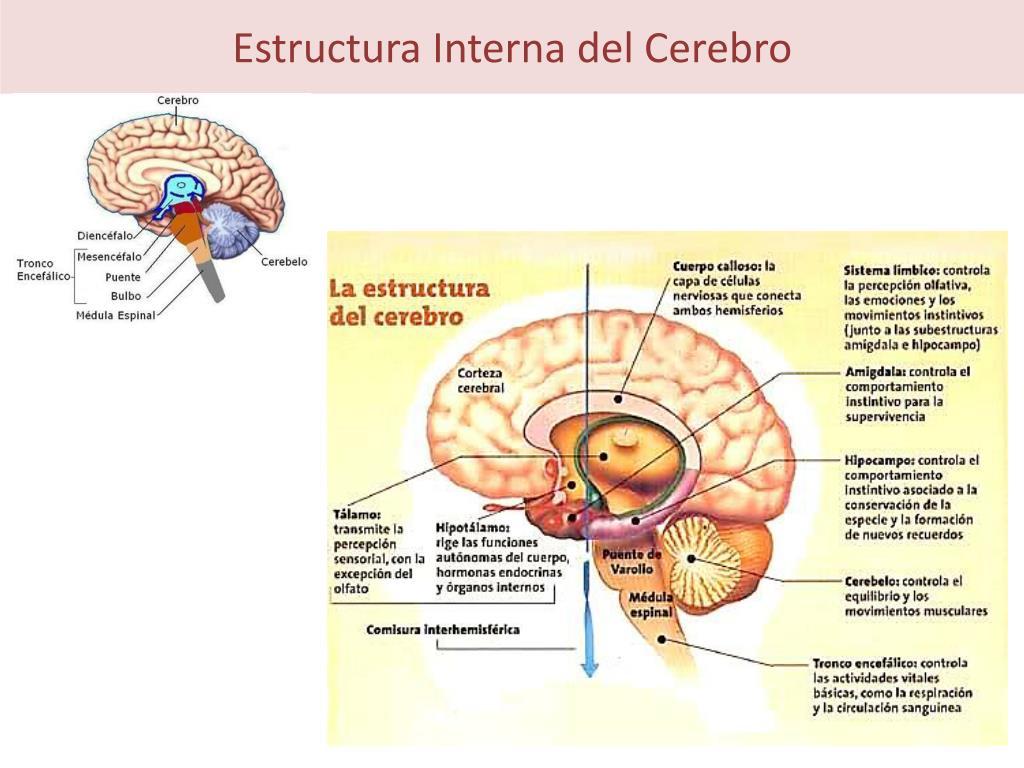 Ppt Organización Del Sistema Nervioso Humano Powerpoint