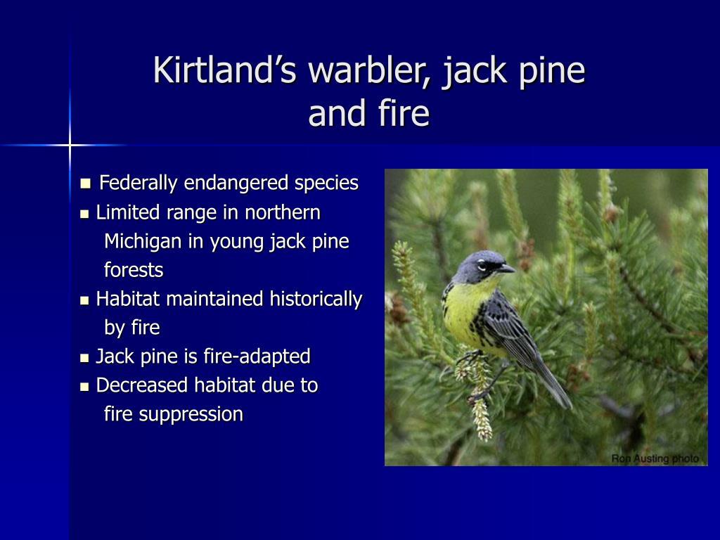 Kirtland's warbler, jack pine